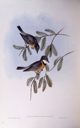 Stock Photo: 1788-29018 Zoology - Birds - Passeriformes - Rufous whistler (Pachycephala rufiventris). Engraving by John Gould.