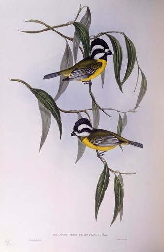 Zoology - Birds - Passeriformes - Crested shriketit (Falcunculus frontatus). Engraving by John Gould. : Stock Photo