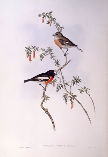 Zoology - Birds - Passeriformes - Scarlet robin (Petroica multicolor). Engraving by John Gould. : Stock Photo