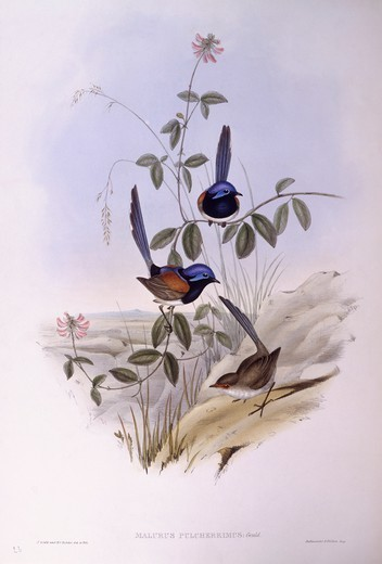 Stock Photo: 1788-29023 Zoology - Birds - Passeriformes - Blue-breasted fairywren (Malurus pulcherrimus). Engraving by John Gould.