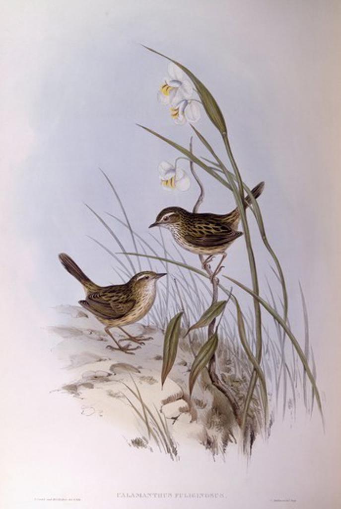 Stock Photo: 1788-29024 Zoology - Birds - Passeriformes - Striated calamanthus (Calamanthus fuliginosus). Engraving by John Gould.