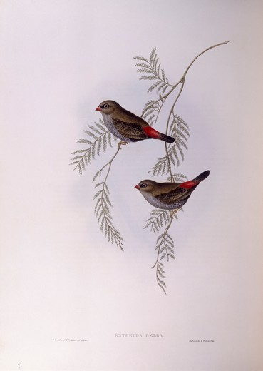 Stock Photo: 1788-29025 Zoology - Birds - Passeriformes - Beautiful firetail (Stagonopleura bella). Engraving by John Gould.