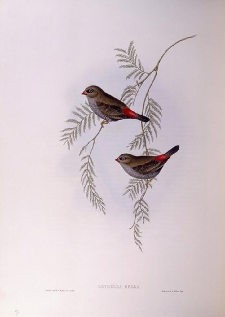 Zoology - Birds - Passeriformes - Beautiful firetail (Stagonopleura bella). Engraving by John Gould. : Stock Photo