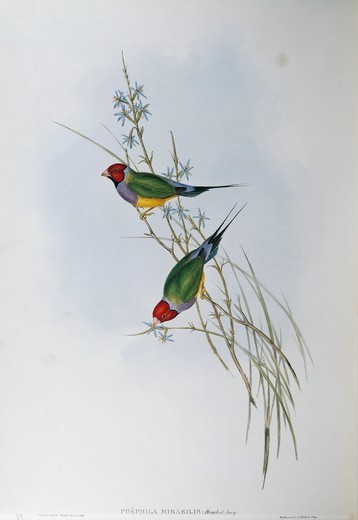 Stock Photo: 1788-29027 John Gould (1804-1881), The Birds of Australia, 1848 - Gouldian Finch (Chloebia gouldiae). Volume III, plate 89, engraving.