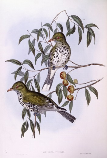 Stock Photo: 1788-29029 Zoology - Birds - Passeriformes - Olive-backed oriole (Oriolus sagittatus). Engraving by John Gould.