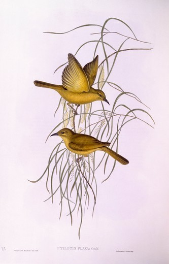 Zoology - Birds - Passeriformes - Yellow honeyeater (Lichenostomus flavus). Engraving by John Gould. : Stock Photo