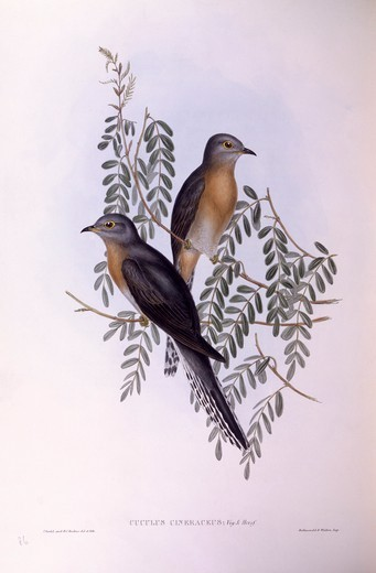 Stock Photo: 1788-29032 Zoology - Birds - Cuculiformes - Fan-tailed cuckoo (Cacomantis flabelliformis). Engraving by John Gould.