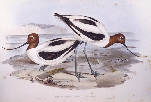 Stock Photo: 1788-29034 Zoology - Birds - Charadriiformes - Red-necked avocet (Recurvirostra novaehollandiae). Engraving by John Gould.