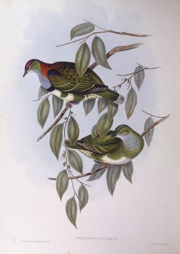 Zoology - Birds - Columbiformes - Superb fruit-dove (Ptilinopus superbus). Engraving by John Gould. : Stock Photo