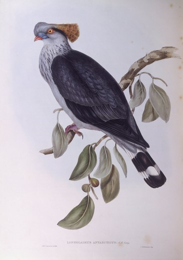 Zoology - Birds - Columbiformes - Topknot pigeon (Lopholaimus antarcticus). Engraving by John Gould. : Stock Photo