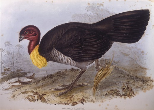 Stock Photo: 1788-29039 Zoology - Birds - Galliformes - Australian brush-turkey (Alectura lathami). Engraving by John Gould.