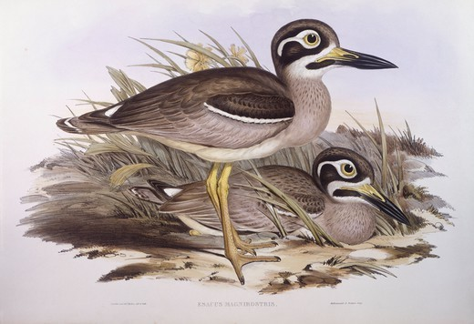 Stock Photo: 1788-29040 Zoology - Birds - Charadriiformes - Beach thick-knee (Esacus magnirostris or Burhinus giganteus). Engraving by John Gould.