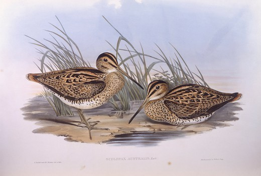 Zoology - Birds - Charadriiformes - Latham's snipe (Gallinago hardwickii). Engraving by John Gould. : Stock Photo