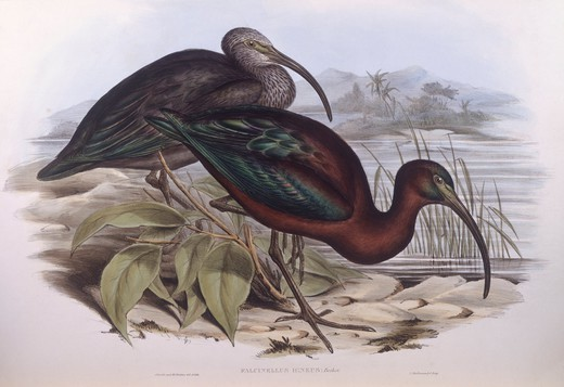 Stock Photo: 1788-29043 Zoology - Birds - Ciconiiformes - Glossy ibis (Plegadis falcinellus). Engraving by John Gould.