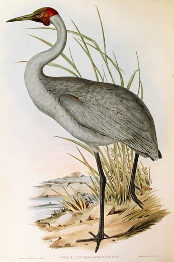 Stock Photo: 1788-29044 John Gould (1804-1881), The Birds of Australia, 1840-1848 - Brolga (Grus rubicunda), Volume VI, Plate 48, engraving, 1848.
