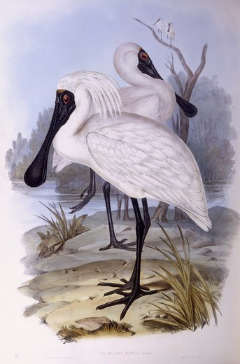 Stock Photo: 1788-29045 Zoology - Birds - Ciconiiformes - Royal spoonbill (Platalea regia). Engraving by John Gould.