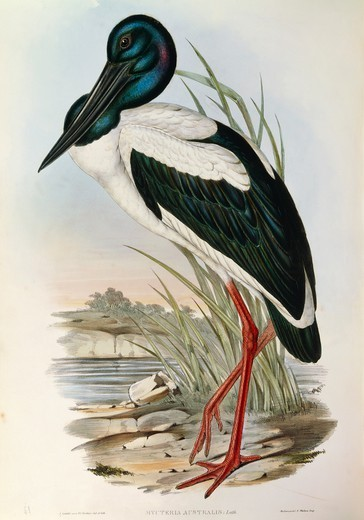 Stock Photo: 1788-29046 John Gould (1804-1881), The Birds of Australia, 1840-1848 - Black-necked Stork (Ephippiorhynchus asiaticus), Volume VI, Plate 51, engraving, 1848.