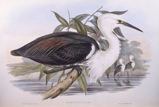 Stock Photo: 1788-29048 Zoology - Birds - Ciconiiformes - Pacific heron (Ardea pacifica). Engraving by John Gould.