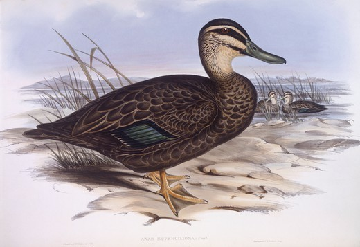Zoology - Birds - Anseriformes - Pacific black duck (Anas superciliosa). Engraving by John Gould. : Stock Photo