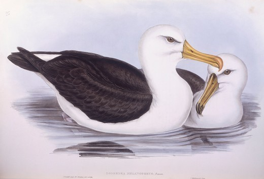 Zoology - Birds - Procellariiformes - Black-browed albatross (Diomedea o Thalassarche melanophrys). Engraving by John Gould. : Stock Photo