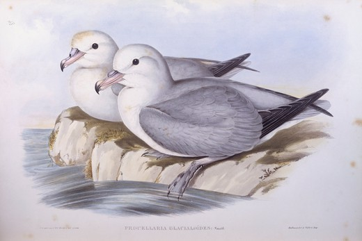 Stock Photo: 1788-29059 Zoology - Birds - Procellariiformes - Southern fulmar (Fulmarus glacialoides). Engraving by John Gould.