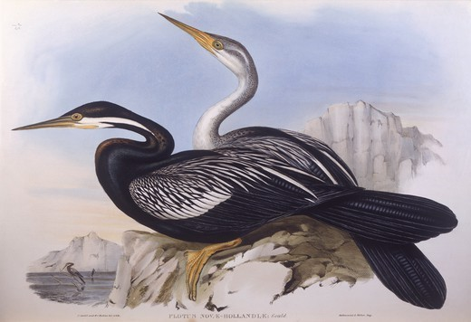 Zoology - Birds - Pelecaniformes - Australian darter (Anhinga novaehollandiae). Engraving by John Gould. : Stock Photo