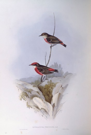 Zoology - Birds - Passeriformes - Crimson chat (Epthianura tricolor). Engraving by John Gould. : Stock Photo