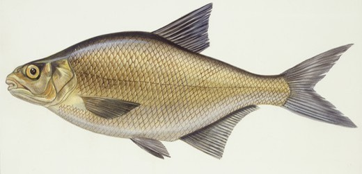 Stock Photo: 1788-29064 Fishes: School of Carp breams (Abramis brama), illustration  Biology: Zoology