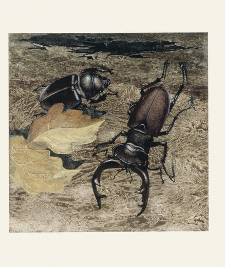 Stock Photo: 1788-29073 Zoology - Insects - Coleoptera - Stag beetles (Lucanus cervus), sexual dimorphism, illustration.