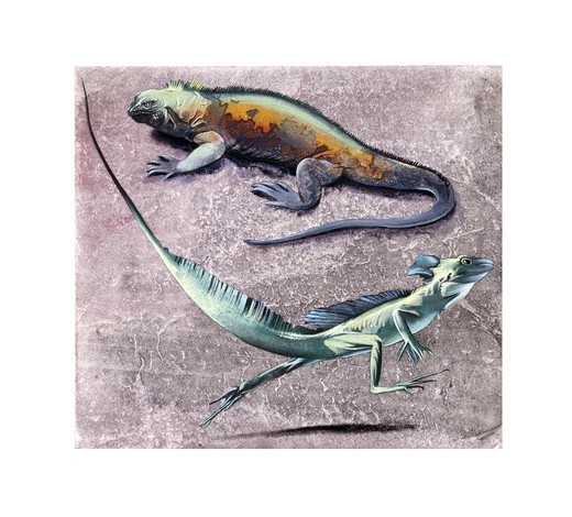 Zoology - Scaled reptiles - Common basilisk (Basiliscus basiliscus) and Flying Dragon (Draco volans) : Stock Photo