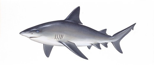 Stock Photo: 1788-29258 Zoology - Fishes - Squaliformes - Sandbar shark (Carcharhinus plumbeus), illustration