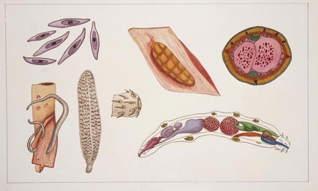 Zoology - Medium group of Acanthocephales (thorny-headed worms), illustration : Stock Photo