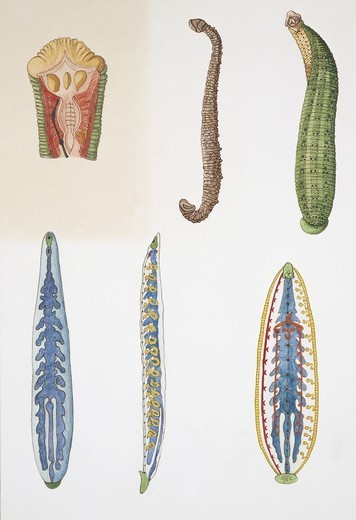 Zoology - Annelida - Medium group of leeches, illustration : Stock Photo