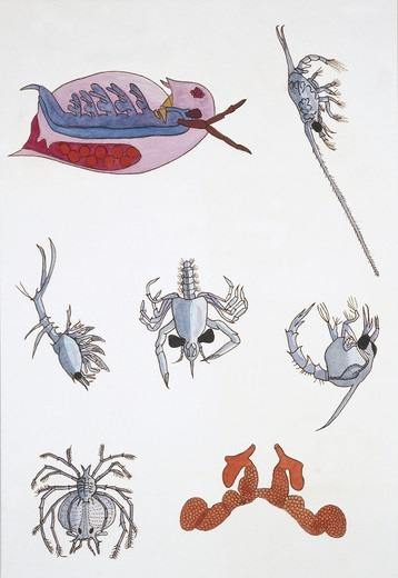 Zoology - Medium group of crustaceans, illustration : Stock Photo