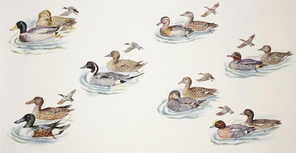 Zoology - Birds - Anseriformes - Ducks (Anatinae), illustration : Stock Photo