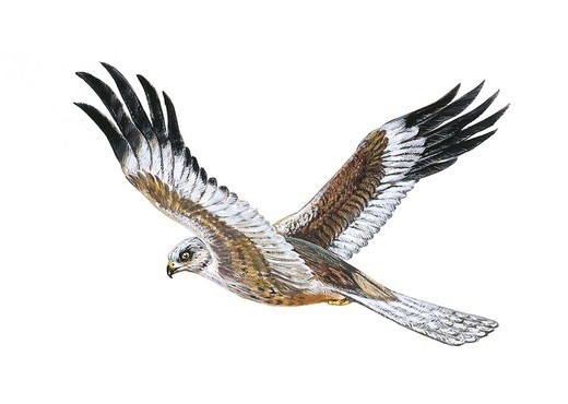 Stock Photo: 1788-29334 Zoology - Birds - Falconiformes - Western Marsh Harrier (Circus aeruginosus) in flight, illustration