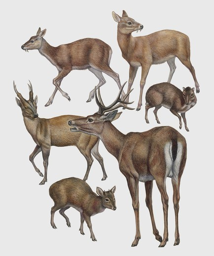Zoology: Mammals - Cervidae. Art work : Stock Photo