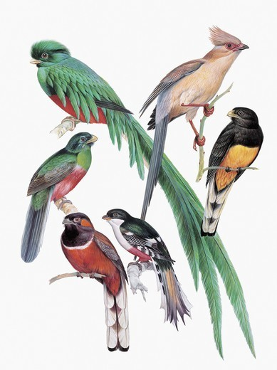 Stock Photo: 1788-29558 Zoology: Birds - Trogoniformes. Art work