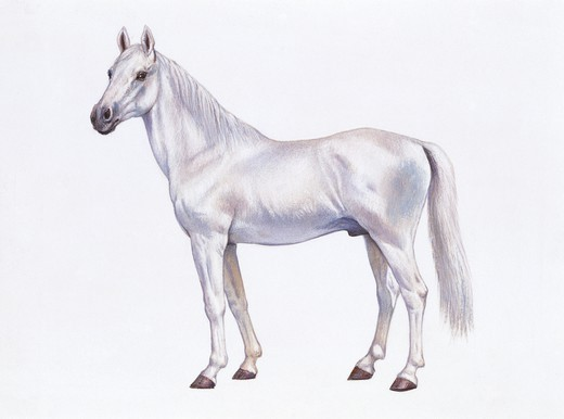 Stock Photo: 1788-29564 Zoology - Equids - Arabian horse (Equus caballus), illustration