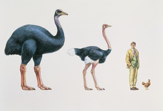 Zoology: Birds - Struthioniformes. Comparing the size of eggs from extinct elephant bird (Aepyornis), ostrich (Struthio camelus), and hen. Art work : Stock Photo