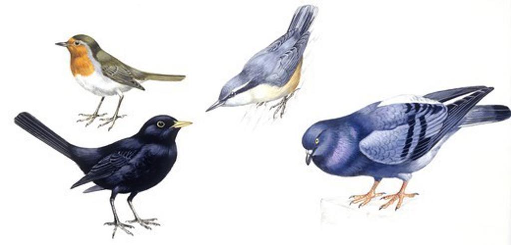 Birds: Passeriformes, European Robin (Erithacus rubecula), Eurasian Nuthatch (Sitta europaea), Eurasian Blackbird (Turdus merula), Rock Pigeon (Columba livia), illustration  Biology, Zoology : Stock Photo