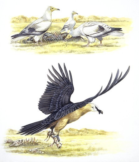 Stock Photo: 1788-29880 Birds: Falconiformes, Egyptian Vulture (Neophron percnopterus) surrounding animal skeleton, illustration  Zoology: Ornithology