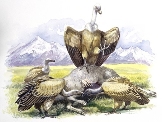 Birds: Falconiformes, Eurasian Griffon Vulture, (Gyps fulvus) feeding on dead animal, illustration  Zoology: Ornithology : Stock Photo