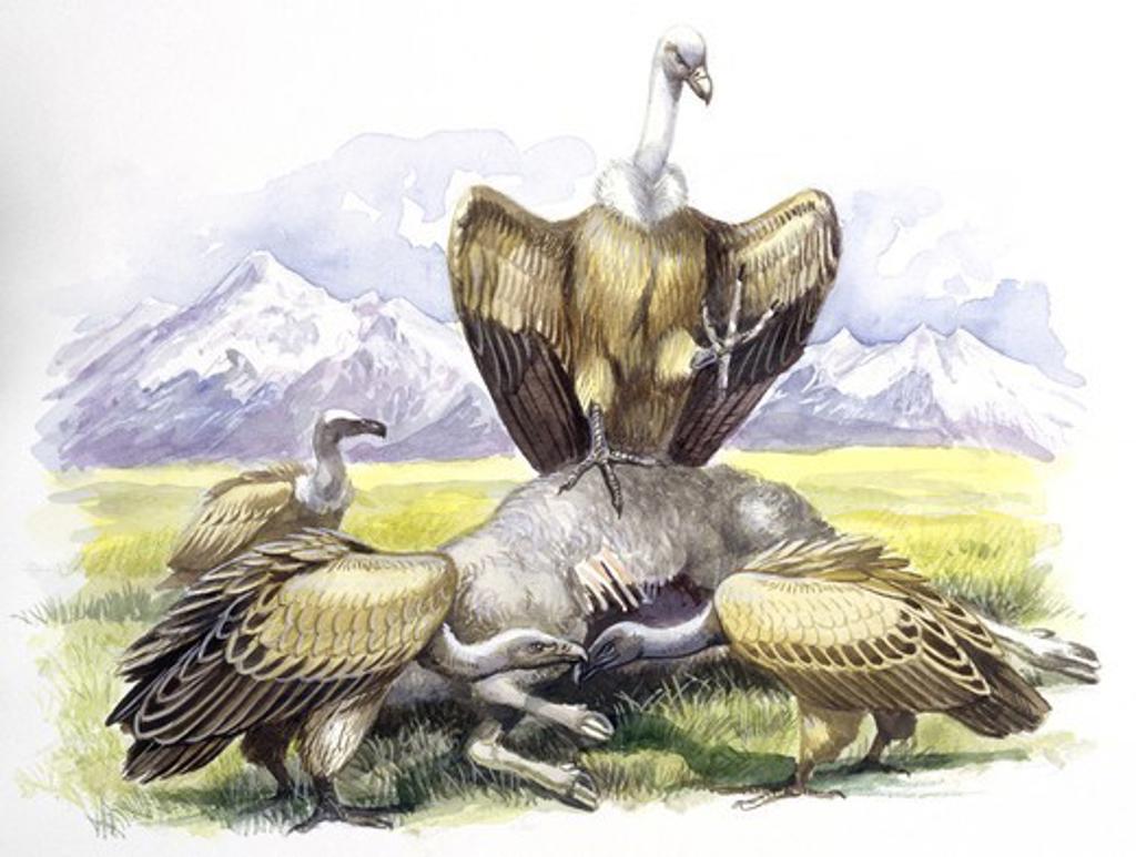 Stock Photo: 1788-29881 Birds: Falconiformes, Eurasian Griffon Vulture, (Gyps fulvus) feeding on dead animal, illustration  Zoology: Ornithology