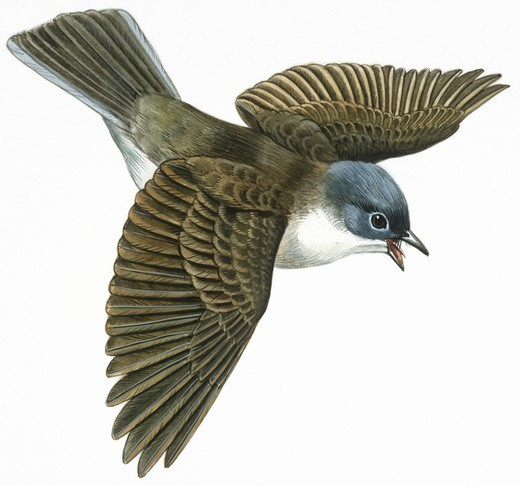 Stock Photo: 1788-29985 Zoology - Birds - Passeriformes - Whitethroat (Sylvia communis), illustration