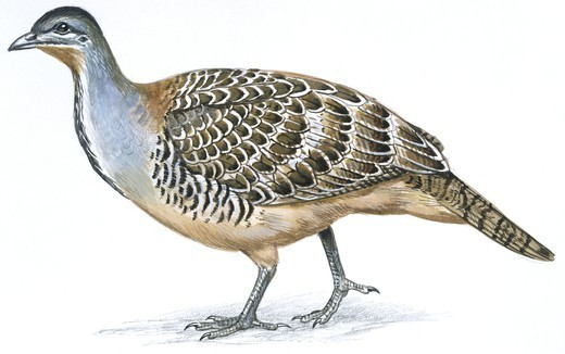 Stock Photo: 1788-30010 Birds: Galliformes, Malleefowl (Leipoa ocellata), illustration  Zoology: Ornithology