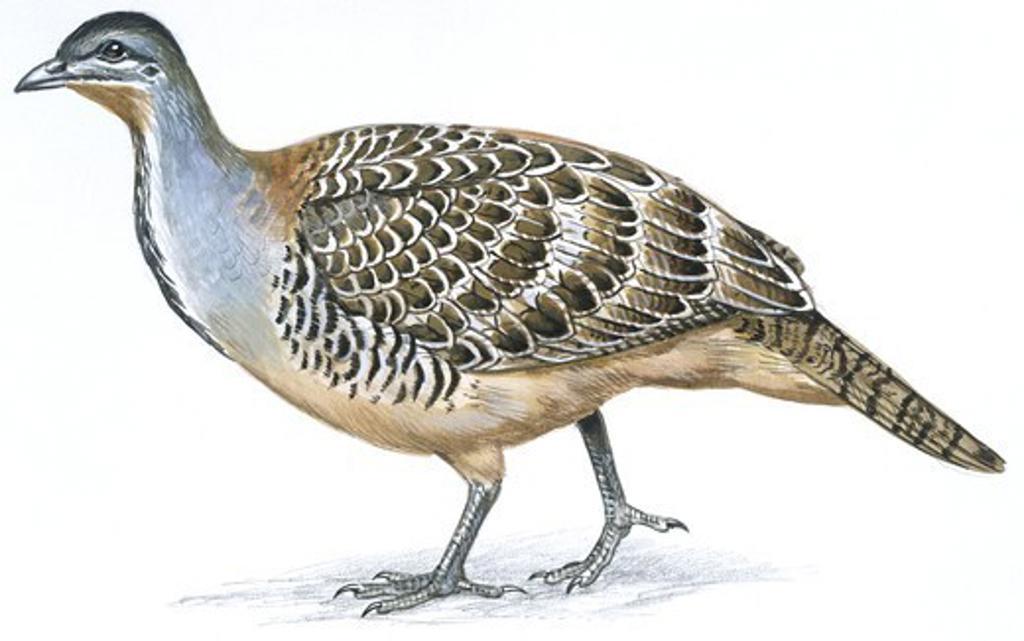 Birds: Galliformes, Malleefowl (Leipoa ocellata), illustration  Zoology: Ornithology : Stock Photo
