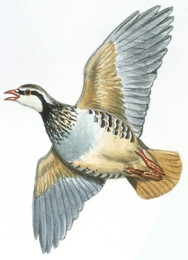 Zoology - Birds - Galliformes - Red-legged Partridge (Alectoris rufa), illustration : Stock Photo