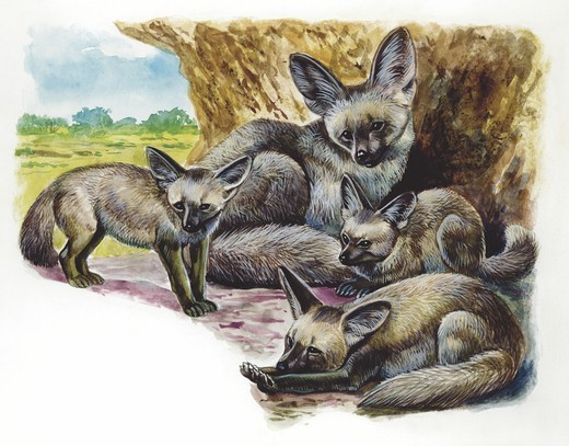 Bat-eared Fox (Otocyon megalotis) with young, illustration  Zoology, Mammals Carnivora : Stock Photo