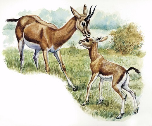 Stock Photo: 1788-30205 Dorcas Gazelle (Gazella dorcas) with young, illustration  Zoology, Mammals Artiodactyla